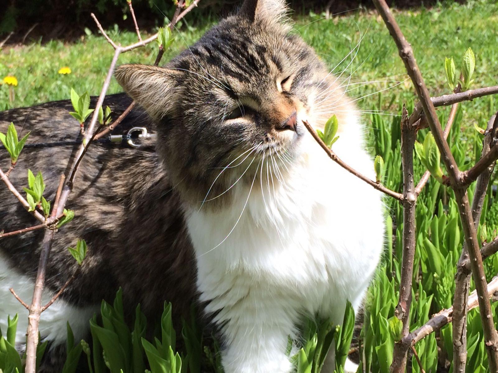 Un chat dans le jardin qui sent une feuille