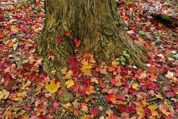 Tapis de feuille au niveau du tronc d'un arbre